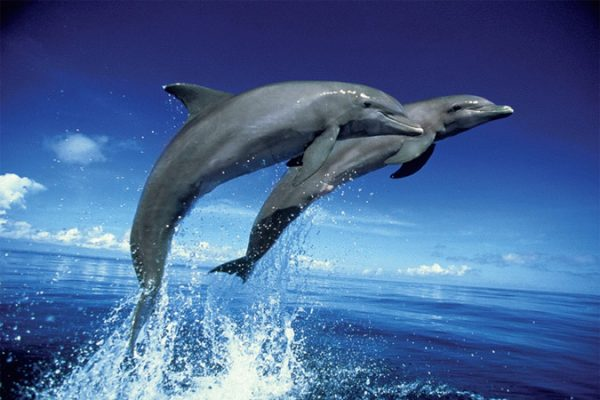 Dolphins - Leap